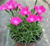 观赏花卉欧石竹 欧石竹花海  启点花卉免费设计花海造型 提供小苗