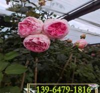 藤本月季蔷薇1年苗 攀援爬藤植物庭院阳台花苗 大花品种基地