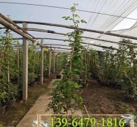高度1.2米爬藤月季花苗 藤本月季营养钵苗  爬藤月季2年苗