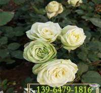 新品爬藤月季花苗 印象派大花藤本月季价格  爬墙月季蔷薇带盆苗