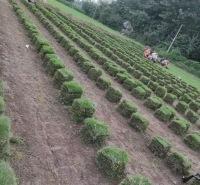 成都台湾二号草坪  富榛草坪基地 生产批发台湾二号草坪