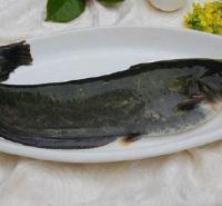 内蒙古-鲶鱼-新鲜打捞-自家养殖