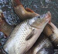 内蒙古-锡盟-苏尼特左旗-鲶鱼-新鲜打捞-自家养殖