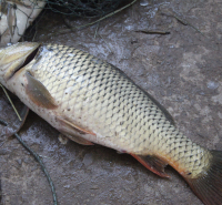 内蒙古-锡盟-苏尼特右旗-鲶鱼-新鲜打捞-自家养殖