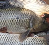 呼市回民区-黄鱼-新鲜-味美-绿色养殖