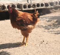 乌兰察布市-丰镇市-草鸡-散养-营养草鸡