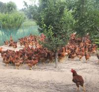 乌兰察布市-化德县-草鸡-散养-无公害养殖