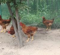 呼伦贝尔牙克石市-公鸡养殖--自然养殖