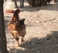 呼伦贝尔根河市-公鸡养殖--自然养殖