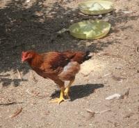 呼伦贝尔市阿荣旗-草鸡养殖--绿色养殖