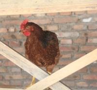 呼伦贝尔市莫力达瓦达斡尔族自治旗-草鸡养殖--绿色养殖