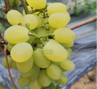 丰产维多利亚葡萄  挂果期长葡萄品种  耐储运葡萄
