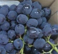 巨峰葡萄 中熟类品种葡萄苗 寿光发货 金百葡萄