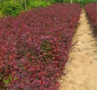 紫叶小檗自产 基地 直供 发车 青州合一绿化 批发 价格
