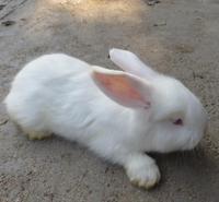 长毛兔养殖技术_长毛兔价格_蒙阴长毛兔