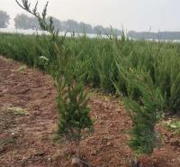 园林绿化工程用地栽小龙柏 顺和花卉大量供应