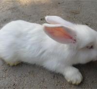 纯种沂蒙獭兔 獭兔养殖技术 专业长毛兔养殖技术