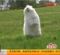 长毛兔养殖  供应巨型长毛兔种苗沂蒙长毛兔种兔