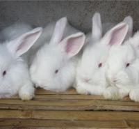 巨型长毛兔养殖  长毛兔养殖基地 鑫华种兔