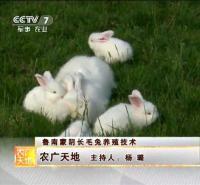 长毛兔养殖基地  沂蒙长毛兔纯种
