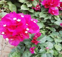 苗木花卉三角梅出售   开花三角梅    多种颜色