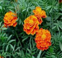 批发孔雀草 书成花卉 小万寿菊种植基地