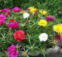 苗圃直供太阳花  太阳花盆栽  太阳花报价  花海绿化