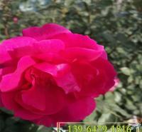 蔷薇月季小苗 藤本灌木大花月季3年苗 爬墙月季带盆好存活