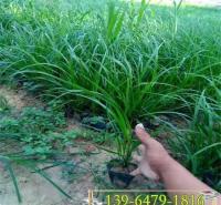 细叶画眉草小苗 草坪种子耐寒耐旱 固土护坡植物红知风绿化苗