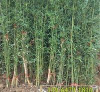 基地现货早园竹 高度2米3米4米耐寒北方竹子 批发青皮竹绿化竹子