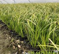 湿地工程绿化苗石菖蒲 金叶石菖蒲盆栽苗上车价 北方货源带土苗