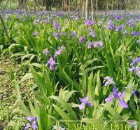 紫花溪荪鸢尾容器苗 赤红鸢尾溪荪小苗 景区亲水观花植物