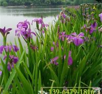 蓝蝴蝶批发水生鸢尾花苗 护坡园林绿化工程用溪荪鸢尾小苗
