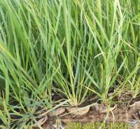 基地推荐各类水生植物 矮蒲苇容器苗 矮蒲苇绿化苗供应商