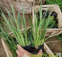 青州水生植物 批发花叶矮蒲苇营养钵苗 观赏草白花蒲苇皮筒苗