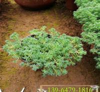 垂盆草图片  吊兰植物垂盆草 耐旱性好易养护沿阶草小苗