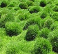 富榛花卉草坪 成都草坪批发 查到高尔夫球场草坪销售 种植基地 欢迎咨询