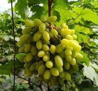 青提葡萄  潍坊葡萄供应  葡萄种苗   耐储运葡萄