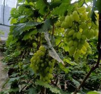 金百葡萄 青提葡萄  潍坊葡萄供应  葡萄种苗