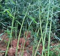山东竹子基地 竹子种植方法
