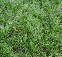 天津细叶麦冬供应 细叶麦冬 【海润】水生植物
