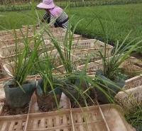 多牙麦冬供应优质麦冬价格 山东麦冬基地