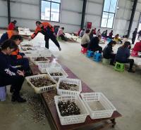 四川特产新鲜黑皮鸡枞 散装人工种植美食食用菌 蘑菇煲汤菌现货批发