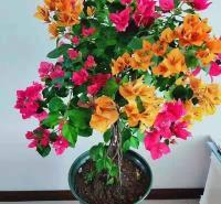 开花优质三角梅顺阳花卉