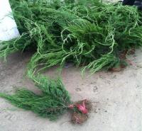 青州绿化苗木 护坡小龙柏 小龙柏基地