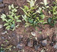 安艺花卉红叶石楠 快销好苗 喜阳光常绿灌木红叶石楠