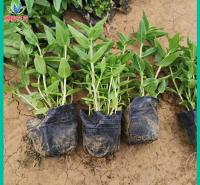 量大优惠 千屈菜批发 草花苗木种植批发 绿化用千屈菜