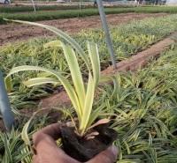 四季常绿的金边吊兰  绿化吊兰基地喜阳光充足,耐旱能力强