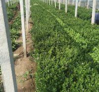 绿化用苗冬青 地栽冬青工程用苗供应 上盆冬青工程用苗价格
