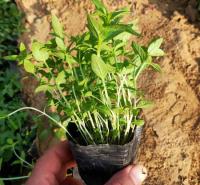 千屈菜湿地绿化 不怕冻的草花千屈菜苗 夏杰花卉 基地种植